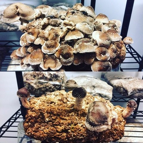 Shiitake research on quantity.  Top photo had our control.  September 2017.